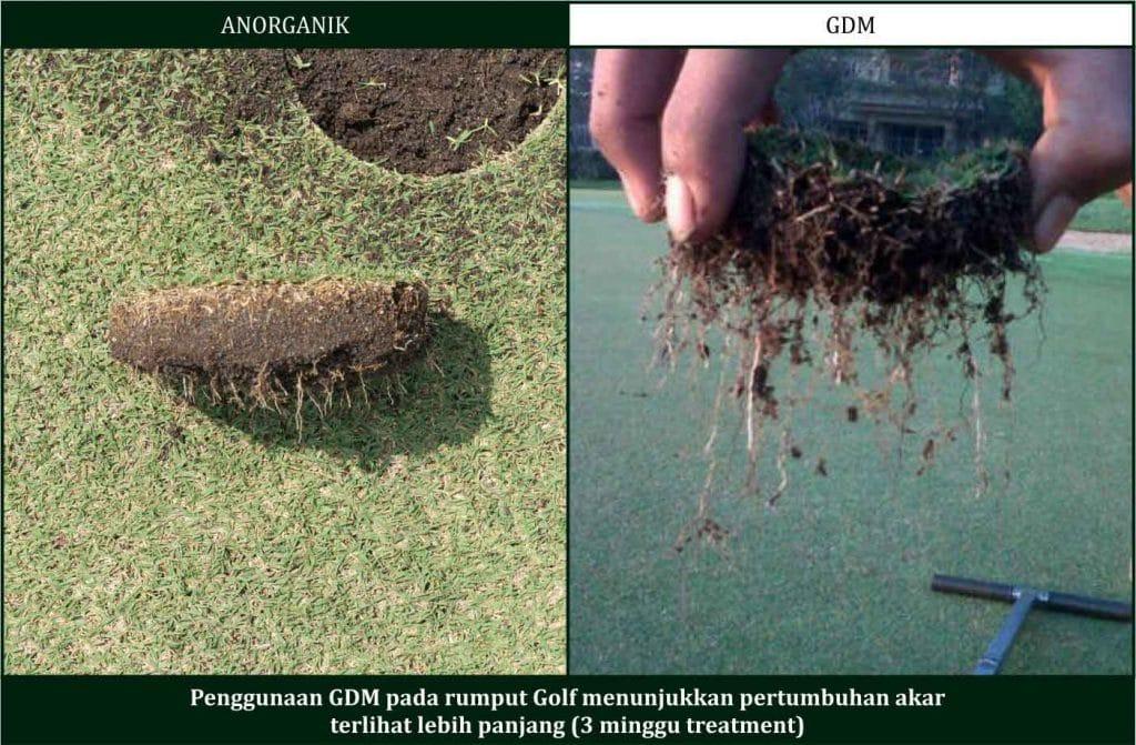 cara memumbuhkan rumput golf dengan pupuk organik gdm
