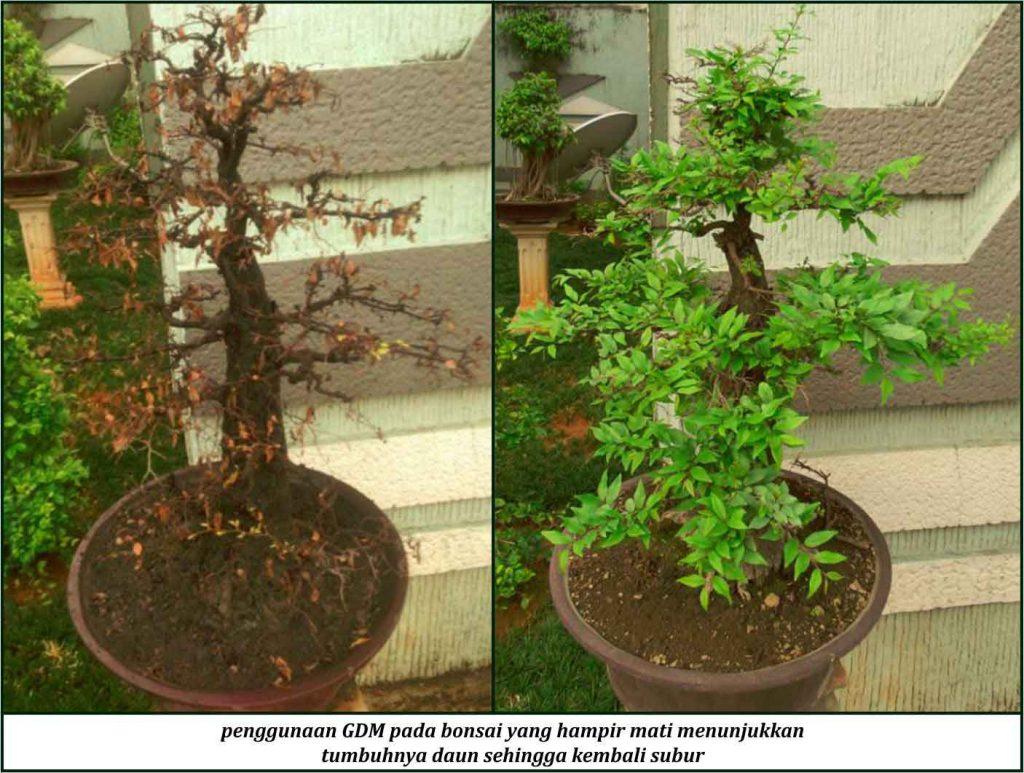 cara membuat bonsai subur dengan pupuk organik cair gdm