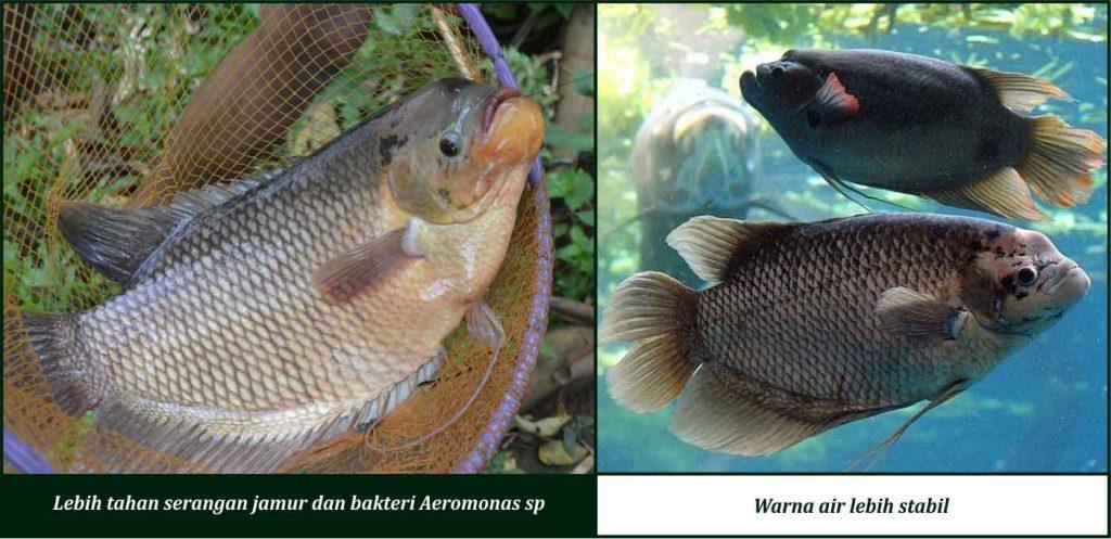 manfaat suplemen cair gdm pada ikan