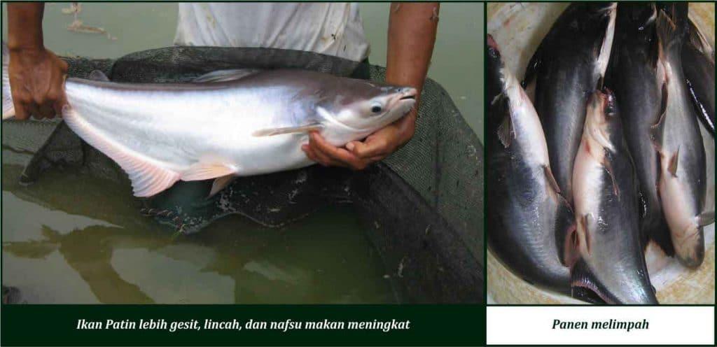 manfaat suplemen cair gdm pada ikan patin