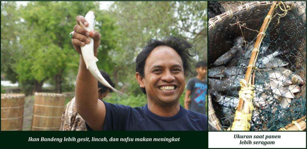 manfaat suplemen cair gdm pada ikan bandeng