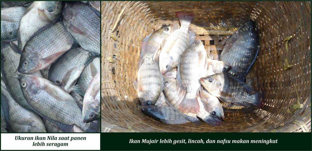 manfaat suplemen cair gdm pada ikan mujair dan nila