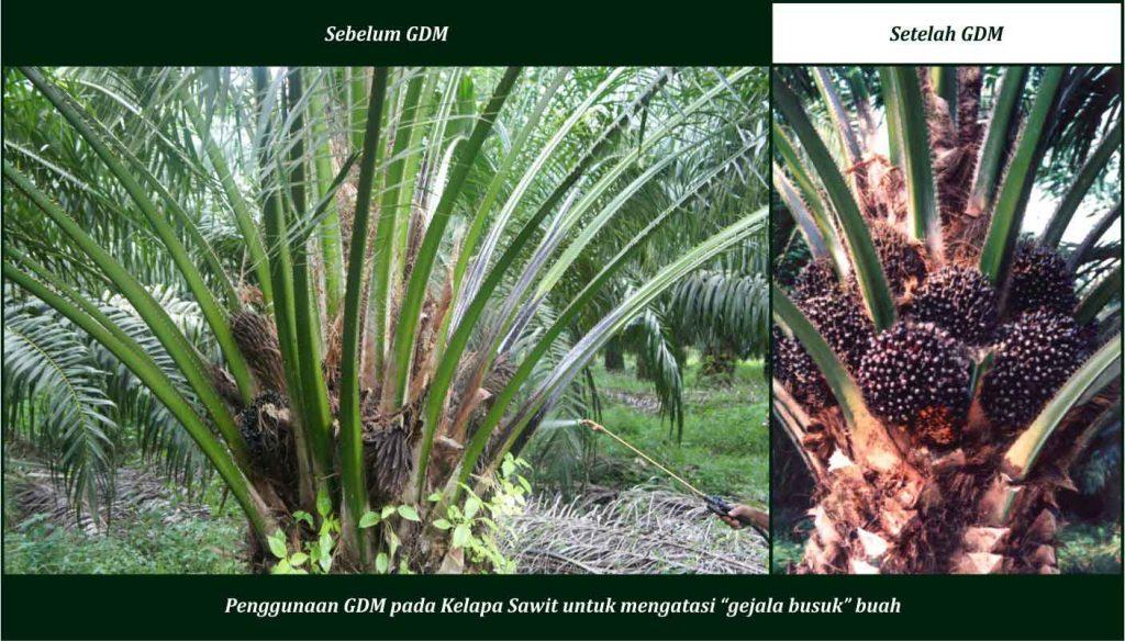 cara merawat kelapa sawit dengan pupuk organik gdm
