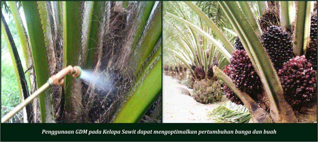 cara merawat kelapa sawit dengan bunga dan buah