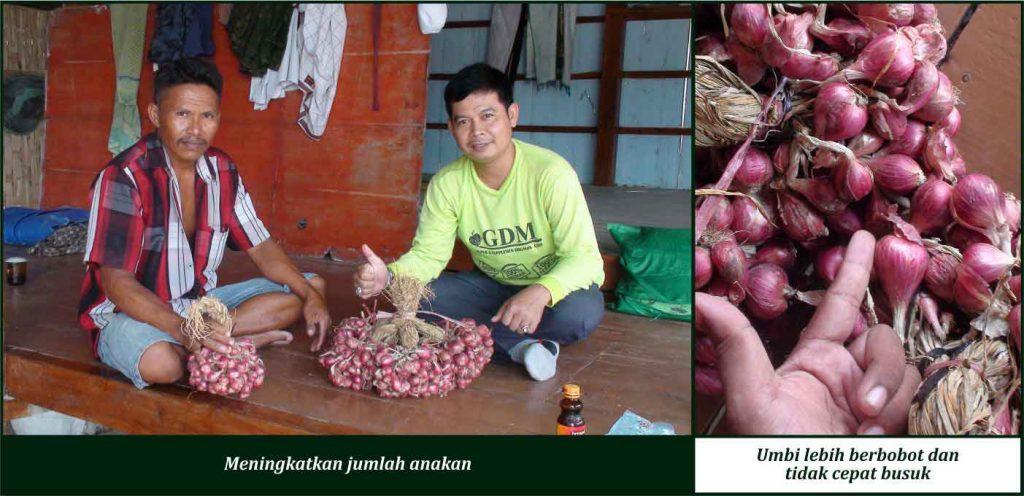 cara merawat bawang merah