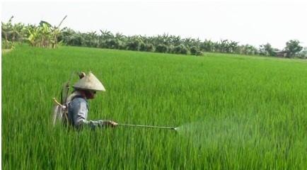 bulir padi yang terjepit