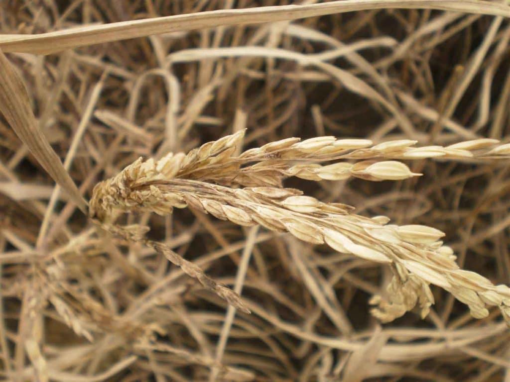 penyakit pada padi