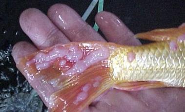 penyakit jamur pada ikan