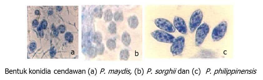 Cendawan Peronosclerospora maydis