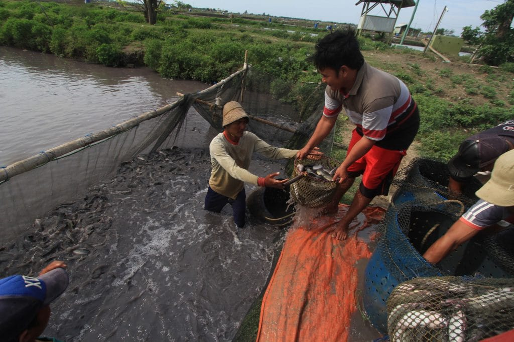 Pekerja memanen ikan lele di tambak air tawar Desa Eretan wetan, Kandanghaur, Indramayu, Jawa Barat