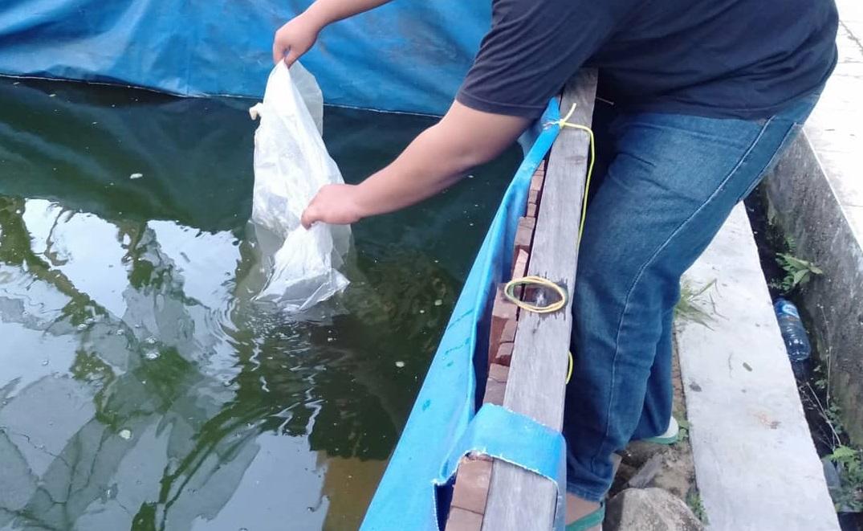 penebaran bibit ikan lele