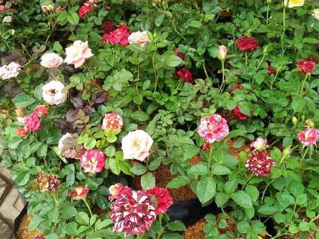 53+ Gambar Bunga Mawar Banyak Paling Mekar
