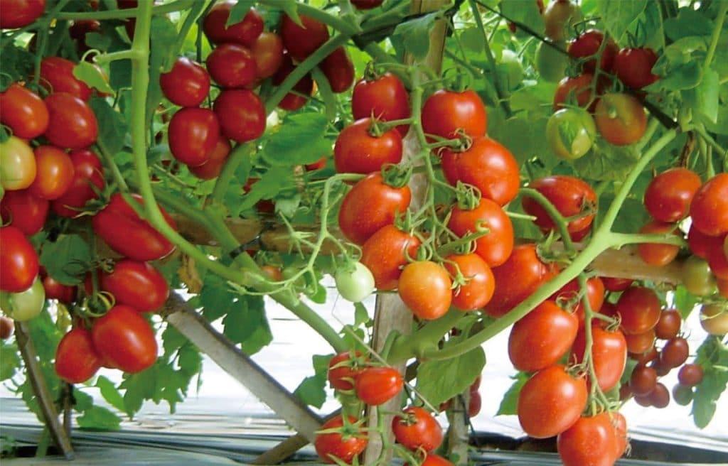 budidaya tomat