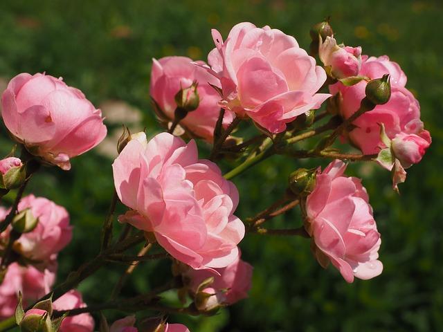 Cara Menanam Bunga Mawar Yang Terbukti Membuat Bunga Lebat