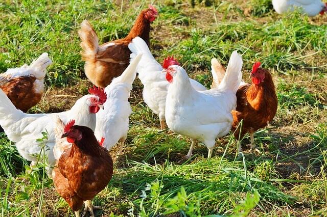 ras ayam petelur