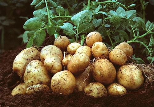 cara budidaya kentang