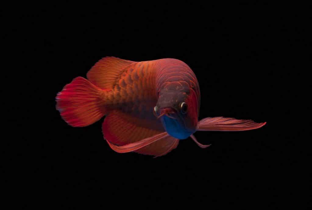 cerahkan sisik ikan arwana super red