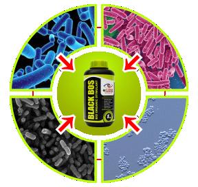 kandungan bakteri gdm blackbos