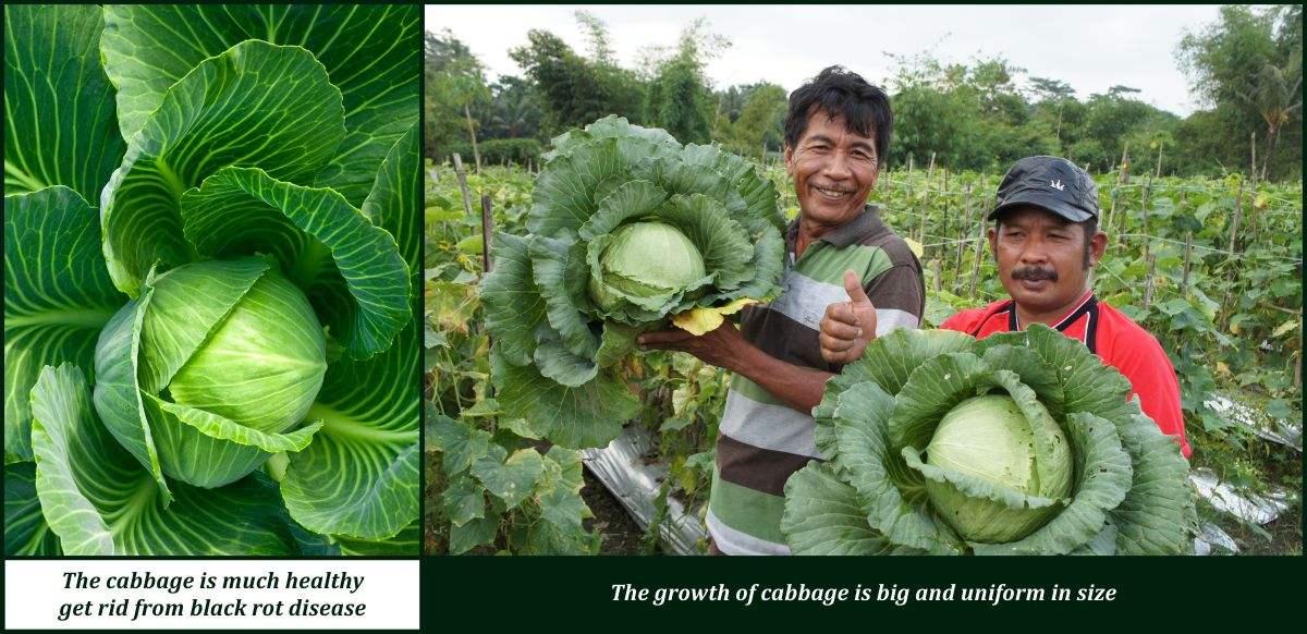 bio organic fertilizer for cabbage