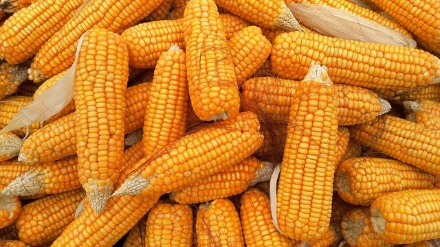 cara menanam jagung yang benar