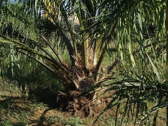pemupukan kelapa sawit