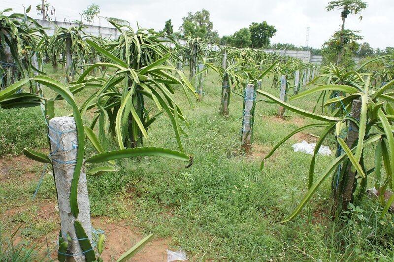 pangkas tanaman buah naga