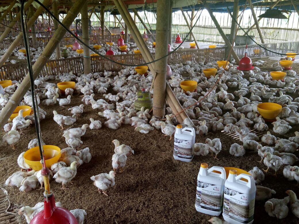 mencegah ayam ngorok