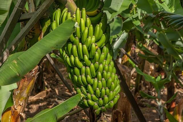 pupuk pisang