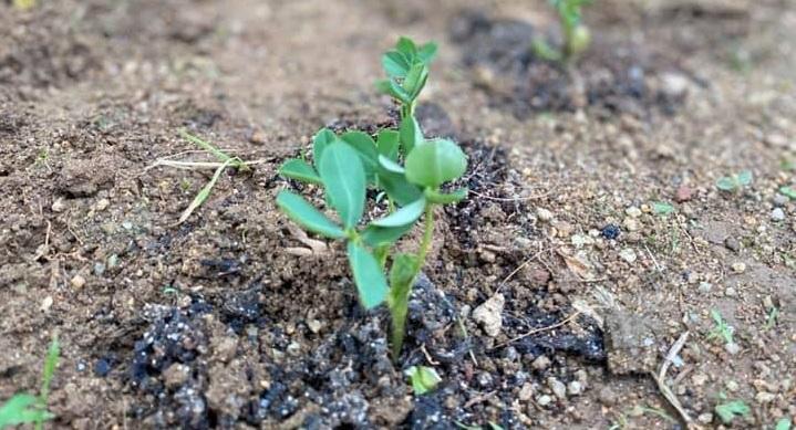 bibit kacang tanah
