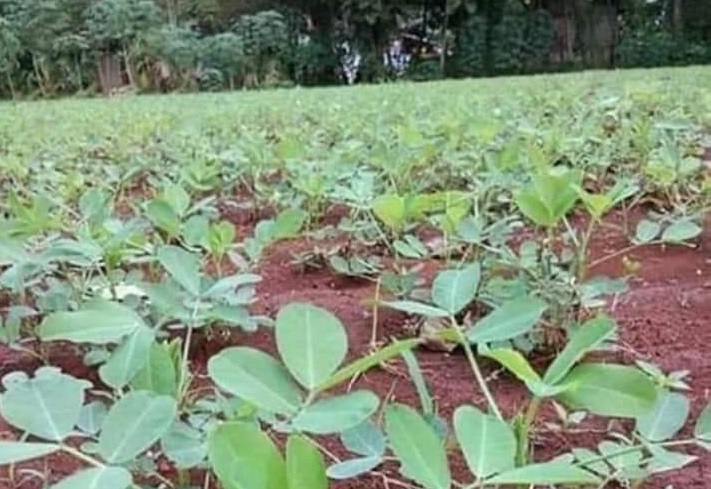syarat tumbuh tanaman kacang tanah