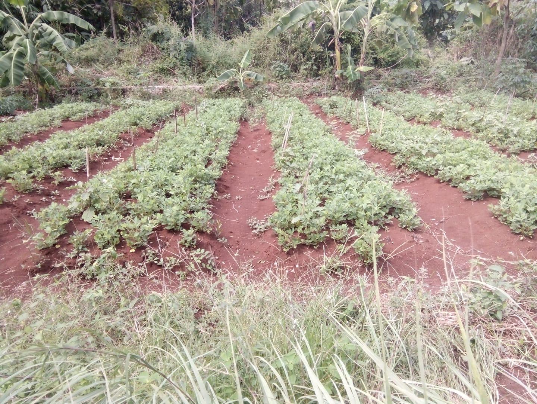 perawatan kacang tanah
