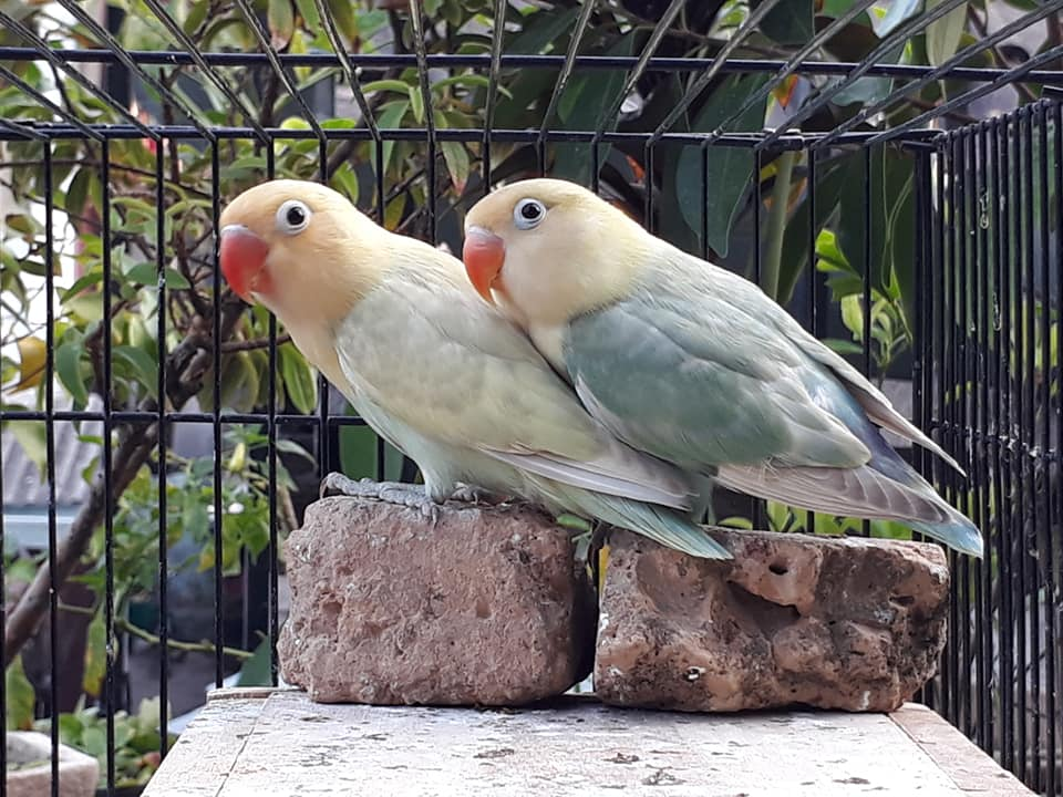 perjodohan lovebird