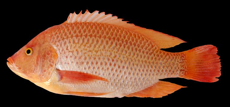 ikan nila citralada