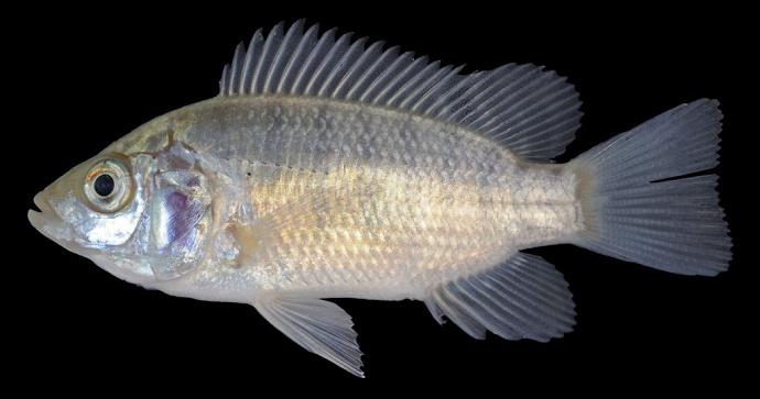 ikan nila gesit