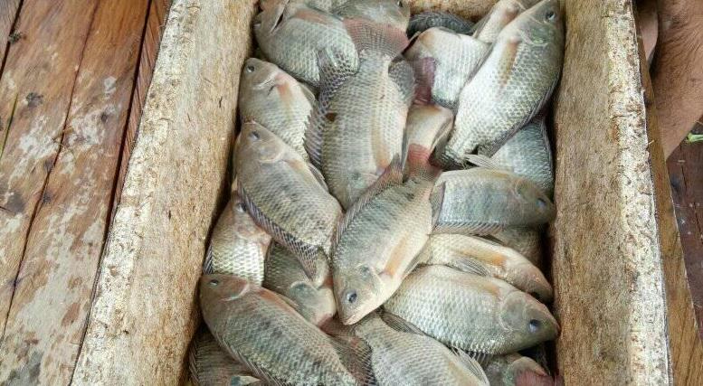 pasca panen ikan nila