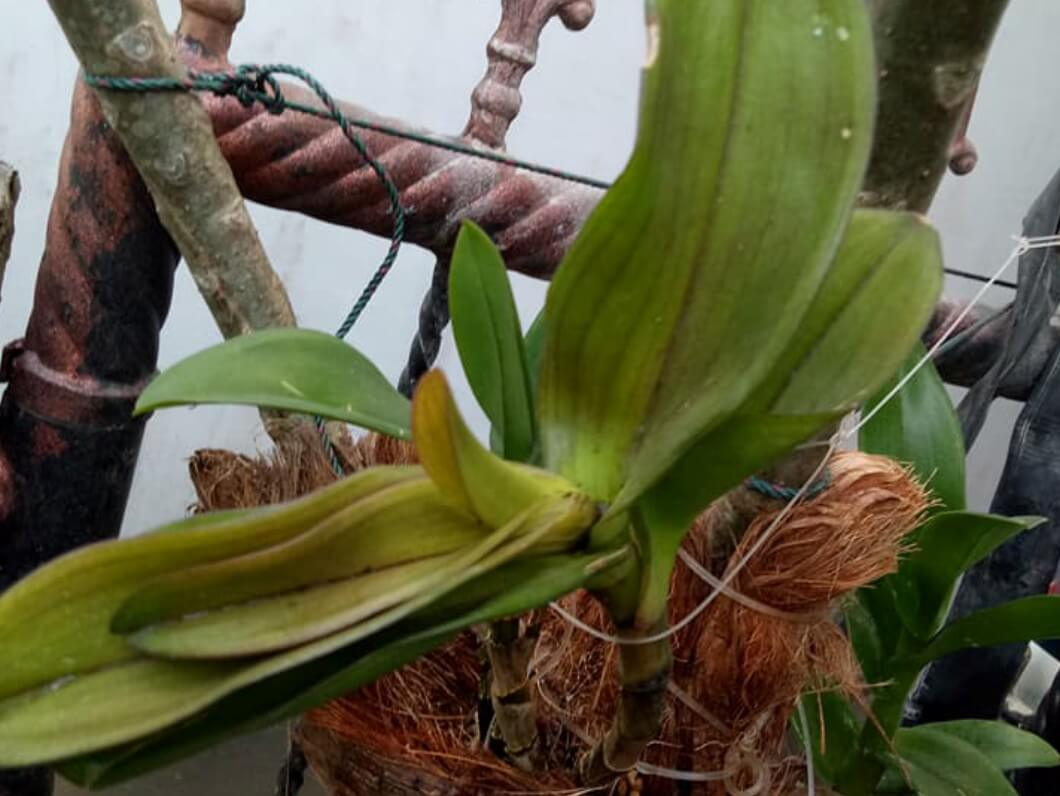 penyakit bercak daun busuk batang