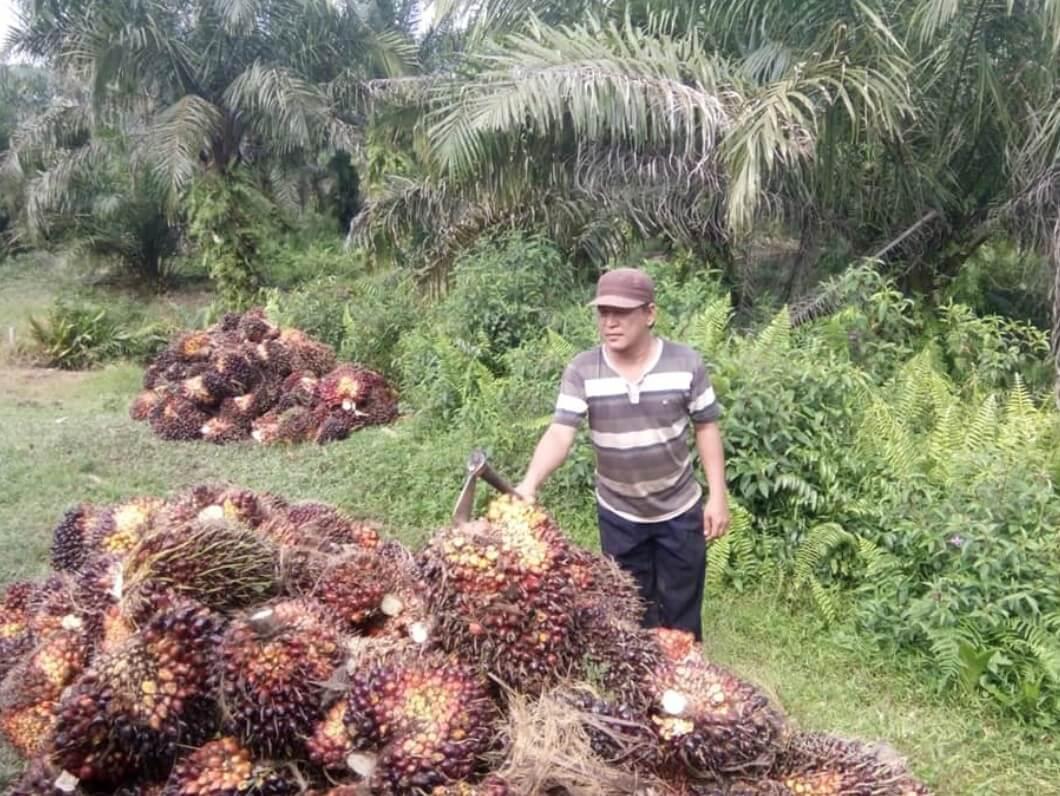 budidaya kelapa sawit