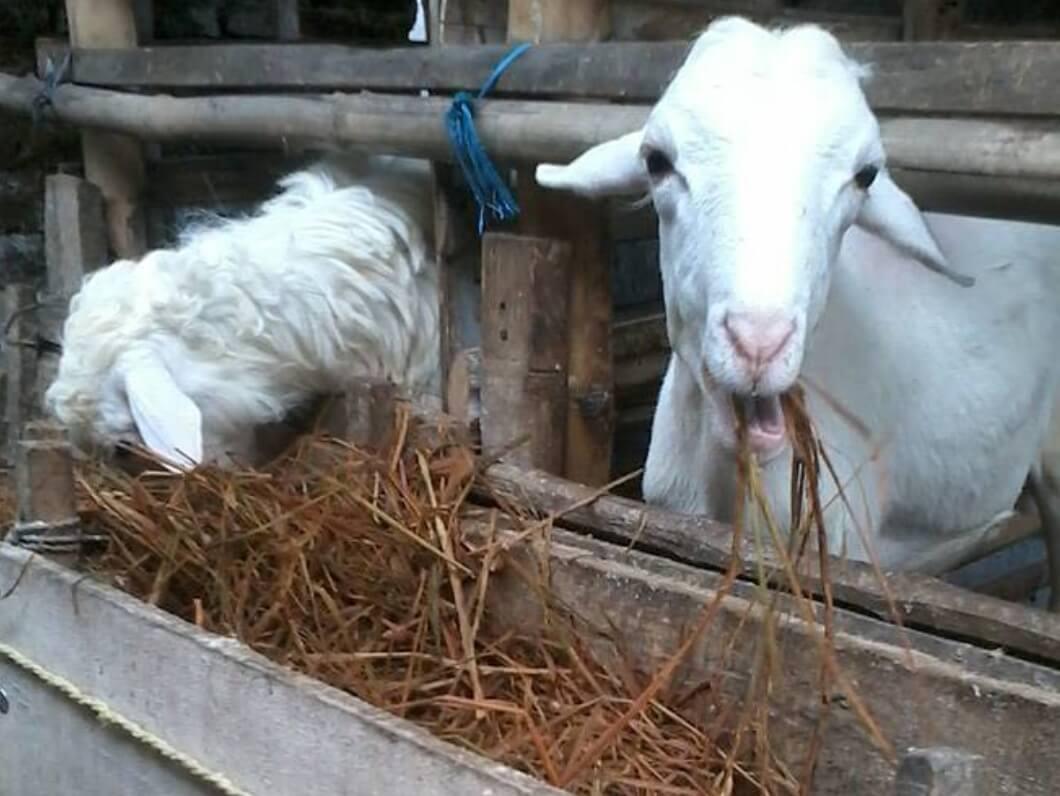 fermentasi pakan kambing