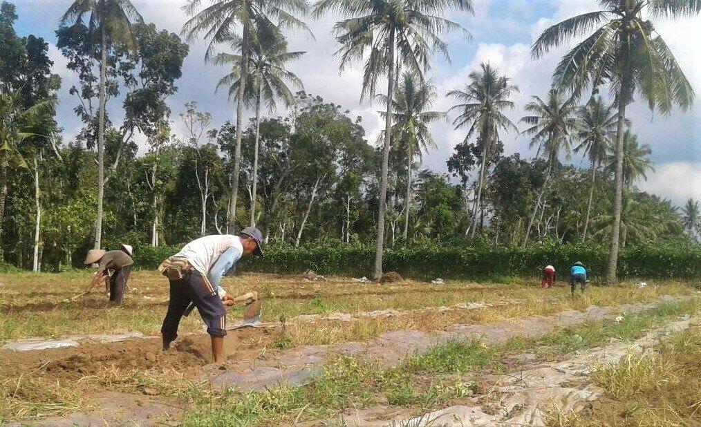 lahan semangka