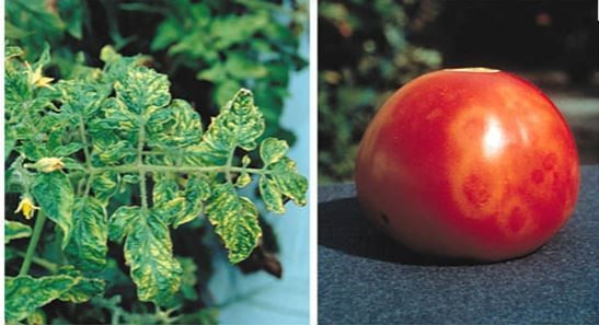 Cara Menghentikan Rantai Penularan Virus Mosaik Pada Tomat