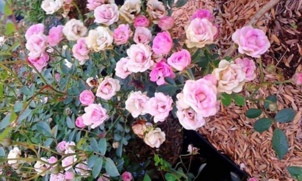 pemupukan perawatan bunga mawar