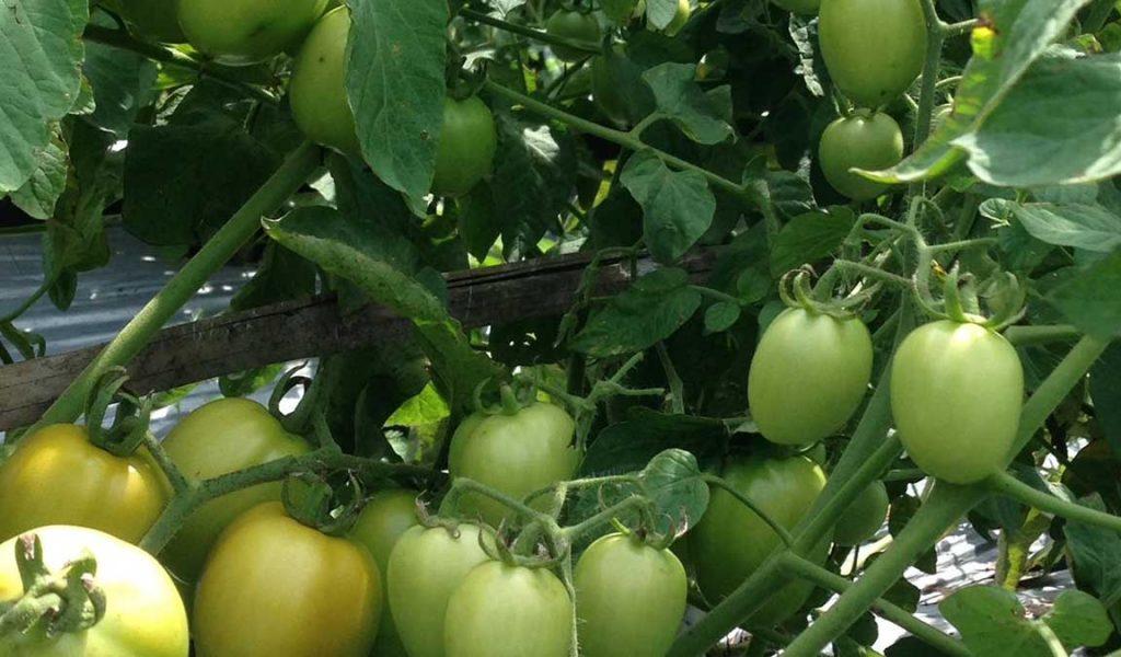 pemupukan masa pembesaran tomat