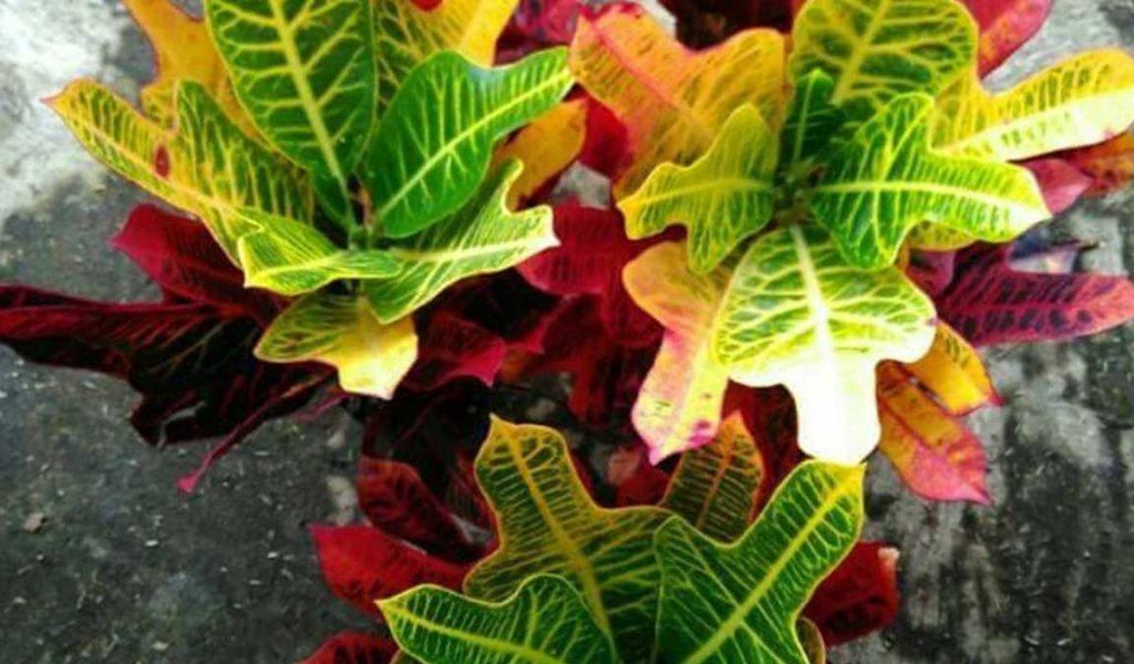 karakteristik bunga puring