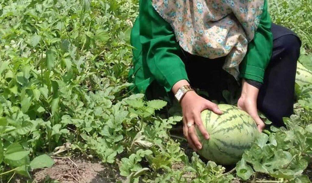 manfaat pemupukan tanaman semangka